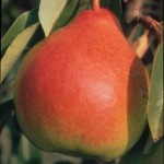 moonglow-pear